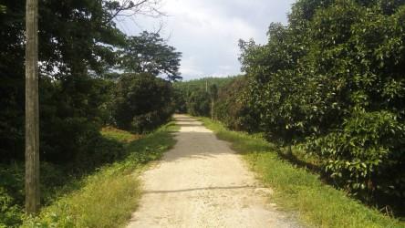 Beautiful plot of 13 Rai of mangosteen plantation for sale